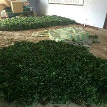 脱毒草莓苗价格扬州苗木供应商图片