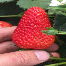 安娜草莓苗价格潮州苗木供应商图片