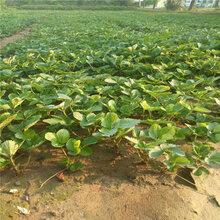 圣诞红草莓苗产量是多少邢台苗木供应商图片