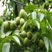 南北方適不適合種植中農短枝核桃苗怎樣提高移栽成活率