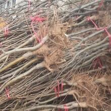 梨樹苗多少錢、求購紅考蜜斯梨樹苗圖片