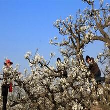購買梨樹苗、新疆梨樹苗多少錢一株圖片