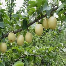 梨樹苗基地、全紅梨樹苗扶貧開發圖片