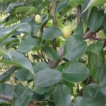 供應梨樹苗、口碑好的紅考密斯梨樹苗廠家圖片
