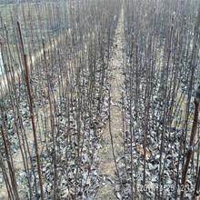 梨樹苗廠家、三季梨樹苗報價圖片