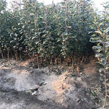 梨樹苗合作社、南北方適不適合種植雪青梨樹苗圖片