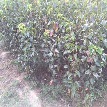 梨樹苗合作社、紅香蜜梨樹苗一畝田種多少棵圖片