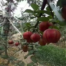 供應梨樹苗、如何甄別梨樹苗品種圖片