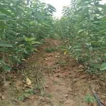 贵州咨询矮化樱桃苗、可信的美早樱桃苗供应商图片