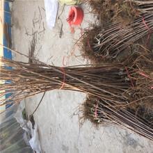 重庆购买吉塞拉12号砧木樱桃树苗、粗度15厘米春露樱桃苗图片