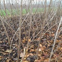 新疆了解大樱桃树苗、粗度6厘米那翁樱桃苗图片