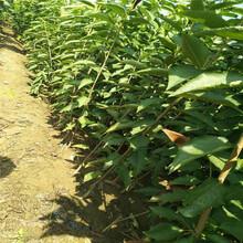 云南咨询吉塞拉6号砧木樱桃树苗、粗度3厘米大红灯樱桃树苗基地图片