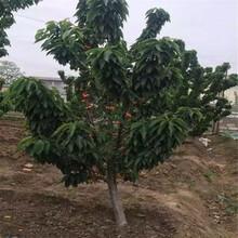 湖南购买吉塞拉6号砧木樱桃树苗、粗度7厘米滨库樱桃苗图片