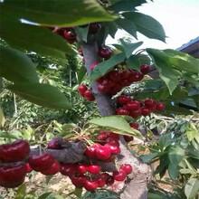 江西了解矮化樱桃苗、布鲁克斯樱桃苗怎样繁殖图片