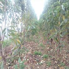 重庆种植矮化樱桃苗、粗度3厘米大红灯樱桃树苗基地图片
