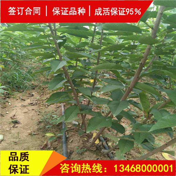 资讯:布鲁克斯樱桃苗种植条件