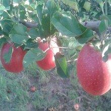 M26砧木苹果苗正确管理方法图片