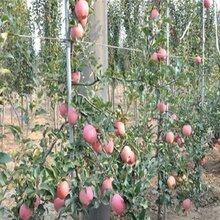 烟富苹果苗亩产图片