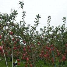 黃金果蘋果樹苗發源地圖片