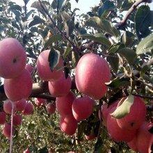锦绣海棠苹果苗视频图片