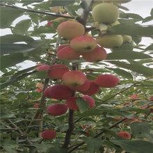 澳洲青苹苗果实大小图片