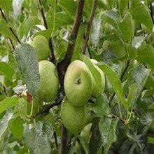 锦绣海棠苹果苗种植技巧图片