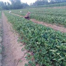 红实美草莓苗、引进红实美草莓苗图片