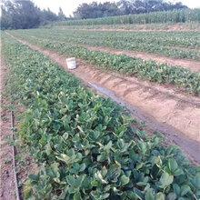 晶瑶草莓苗、推出晶瑶草莓苗图片