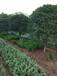 八月桂花树报价12公分粗单杆月桂价格绿化工程用桂花报价