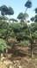 造型树图片报价修剪8公分小叶女贞造型树价格5公分粗造型女贞价格
