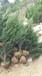 松柏树的图片及供应中国刺柏树的报价耐寒树种刺柏苗价格