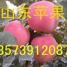 山東紅星蘋果價格紅星蘋果產地圖片