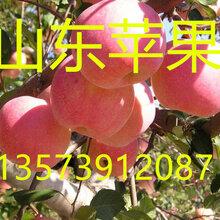 山東蘋果美八蘋果價格圖片