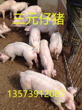 山东仔猪今日价格内蒙仔猪三元仔猪图片