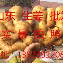 山东生姜产地哪里有卖大姜的小姜哪里有卖的图片
