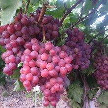 陕西红提葡萄价格陕西红提葡萄批发行情图片