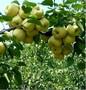 陕西砀山酥梨价格陕西贡梨价格产地批发酥梨图片