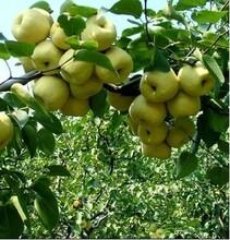 陜西碭山酥梨價格陜西貢梨價格產地批發酥梨圖片