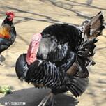 商品火鸡出售常年出售火鸡图片