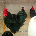 珍禽养殖价格珍禽养殖介绍珍禽养殖网特养殖场图片