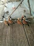 赤麻鸭养殖场家龙珍禽特种养殖场图片