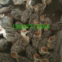 广平鸵鸟价格鸵鸟养殖场孔雀养殖基地华旺特种养殖场图片