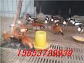 观赏鸭养殖场为你的生态园添光彩华旺养殖场图片