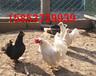 河北石家庄新乐元宝鸡出售华旺特种元宝鸡养殖场