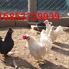 火鸡苗价格火鸡苗出售华旺火鸡养殖场图片