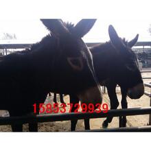 宁江肉驴养殖场肉驴价格肉驴崽出售图片