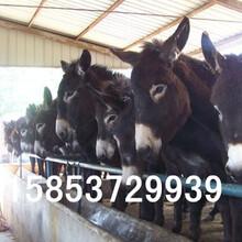 吴桥肉驴出售肉驴仔价格华旺特种养殖场图片