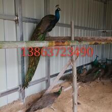 哪家孔雀苗出售孔雀养殖技术出售孔雀价格图片