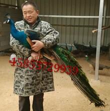 邯郸孔雀养殖基地大型珍禽养殖场华旺特种养殖场图片