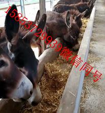 民权肉驴养殖基地肉驴崽出售华旺特种养殖场图片